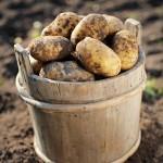 Kartoffeln mit Strom gesünder machen